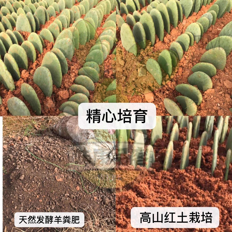 新鲜仙人掌绿色多肉植物盆栽可药用食用仙人掌米邦塔美容外敷内服