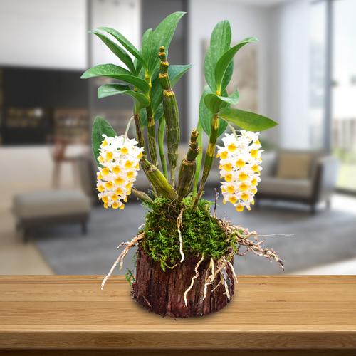 金玉良缘石斛树桩铁皮石斛苗吊兰花卉办公室水培植物庭院园艺绿植