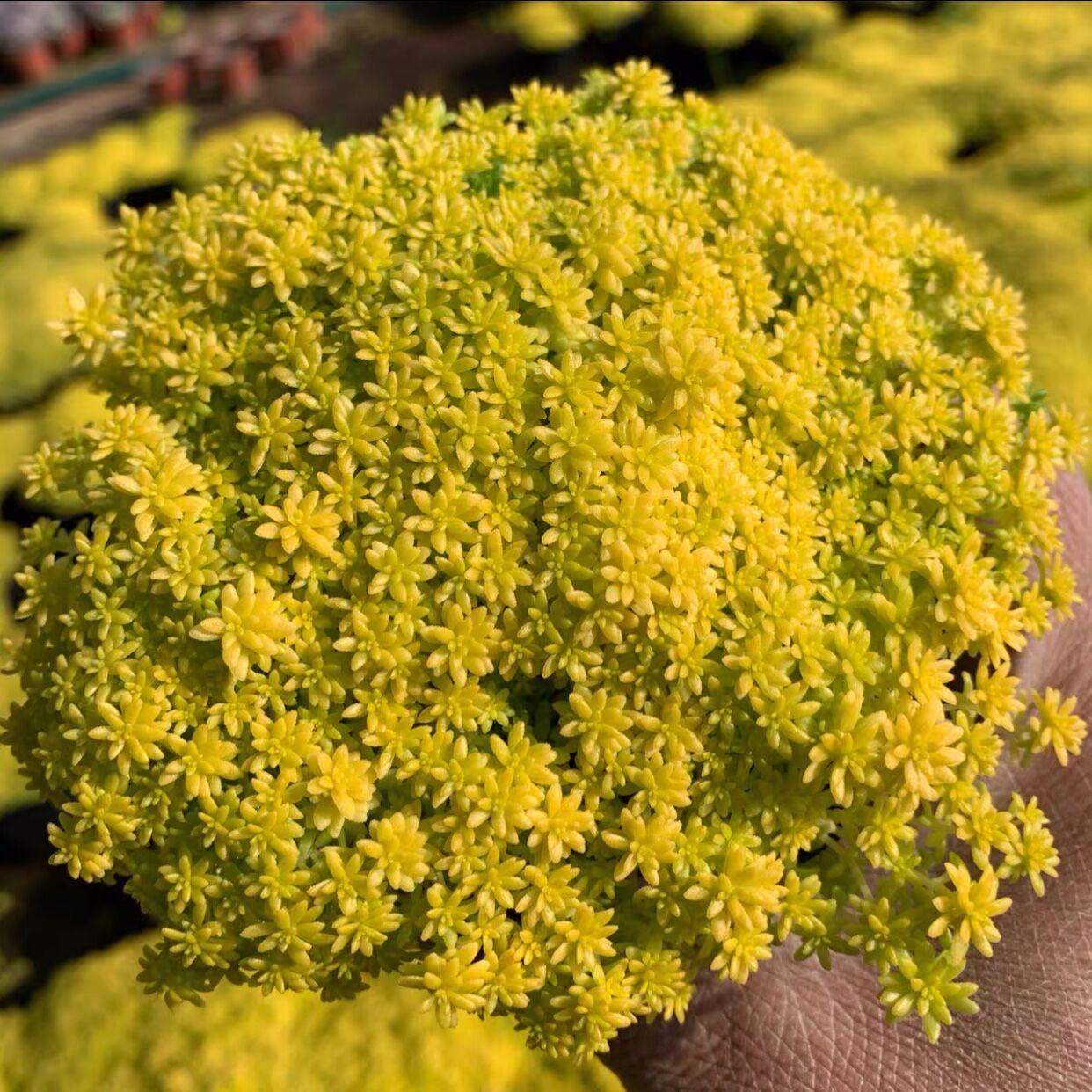 黄金万年草多肉植物组合盆栽花卉植物室内花创意盆栽