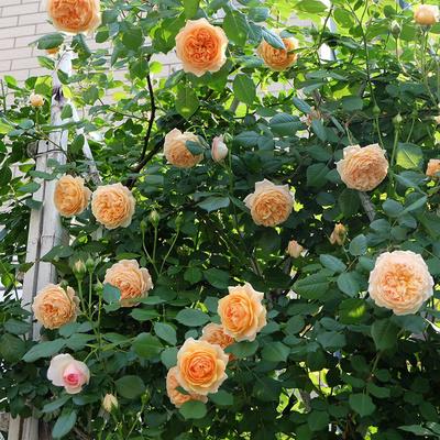 欧月藤本月季玫瑰蔷薇花苗爬藤植物四季开花庭院盆栽浓香特大花卉