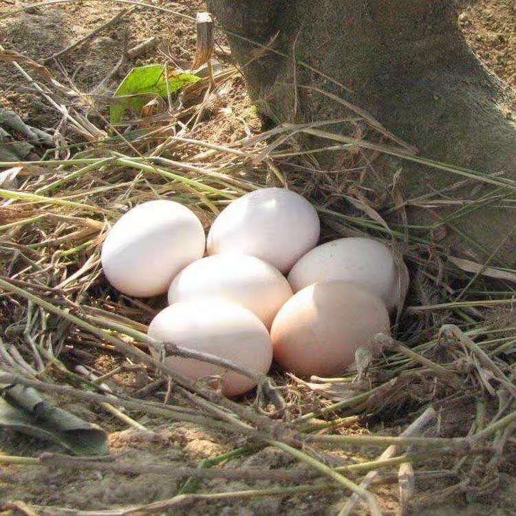 皖北农村新鲜土鸡蛋30枚正宗柴鸡蛋农家散养笨鸡蛋包邮