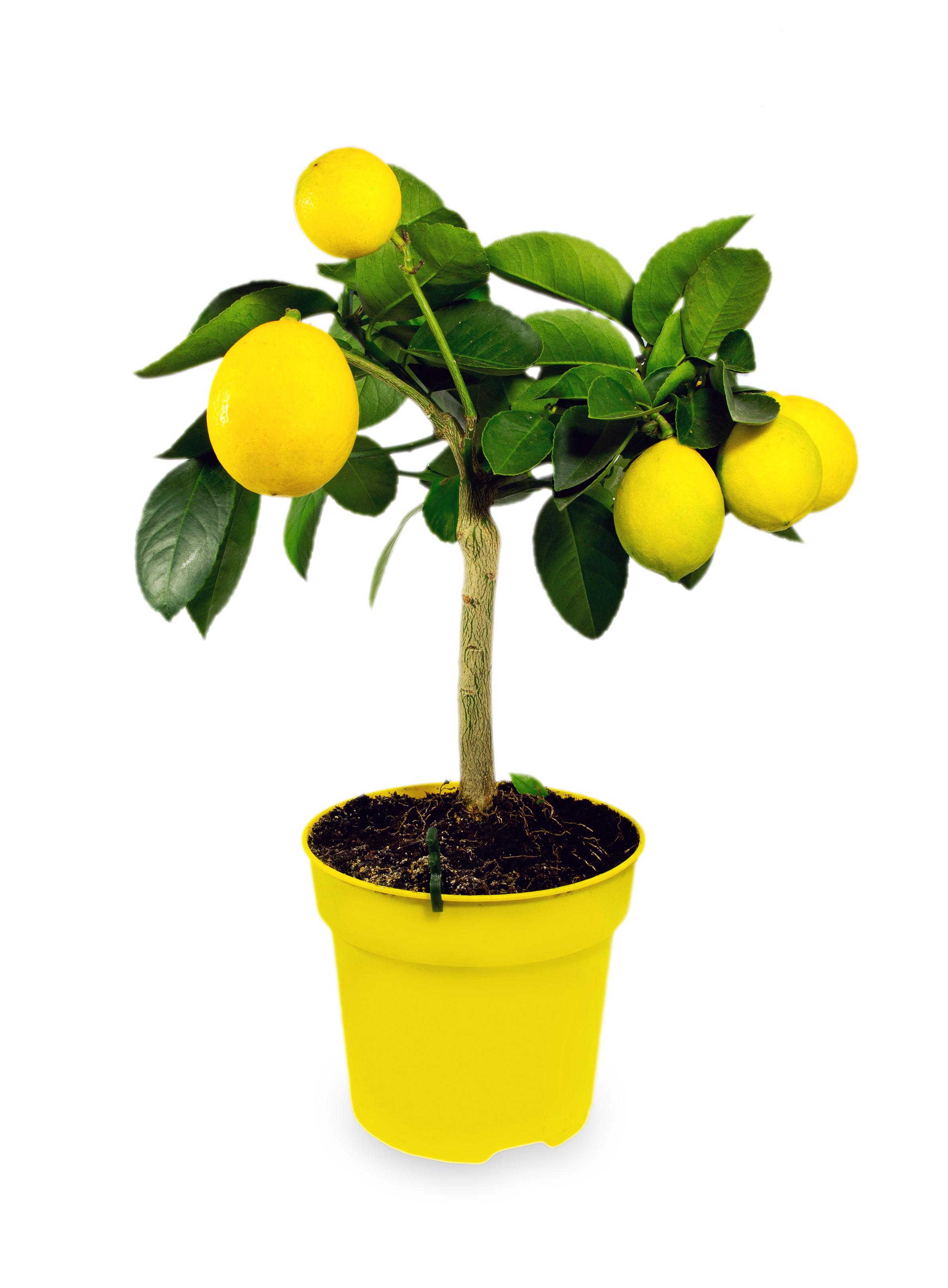 四季香水柠檬树苗木果树苗结果带果南北方庭院阳台绿植盆栽带盆
