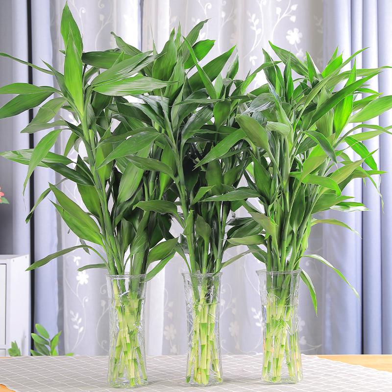 富贵竹盆栽绿植