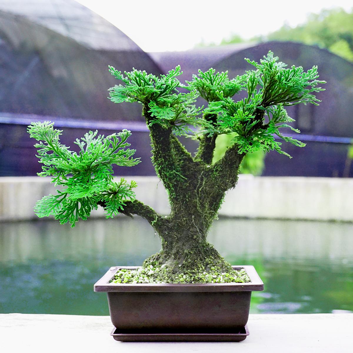 野生卷柏九死还魂草假山组合吸水石菖蒲桌面花卉植物微型盆景盆栽