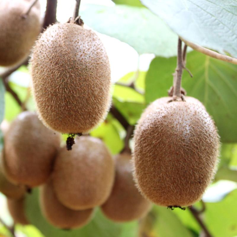 江山徐香猕猴桃新鲜包邮大果当季水果整箱绿心弥猴桃奇异果礼盒 - 图0