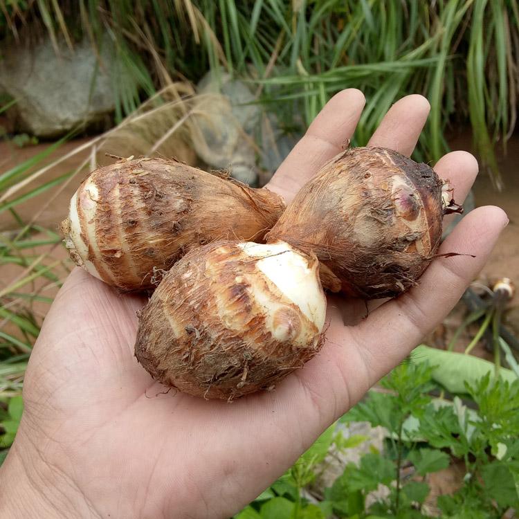 芋头新鲜小芋头 农家蔬菜现挖毛芋头滑糯红梗芋艿江西芋子5斤包邮