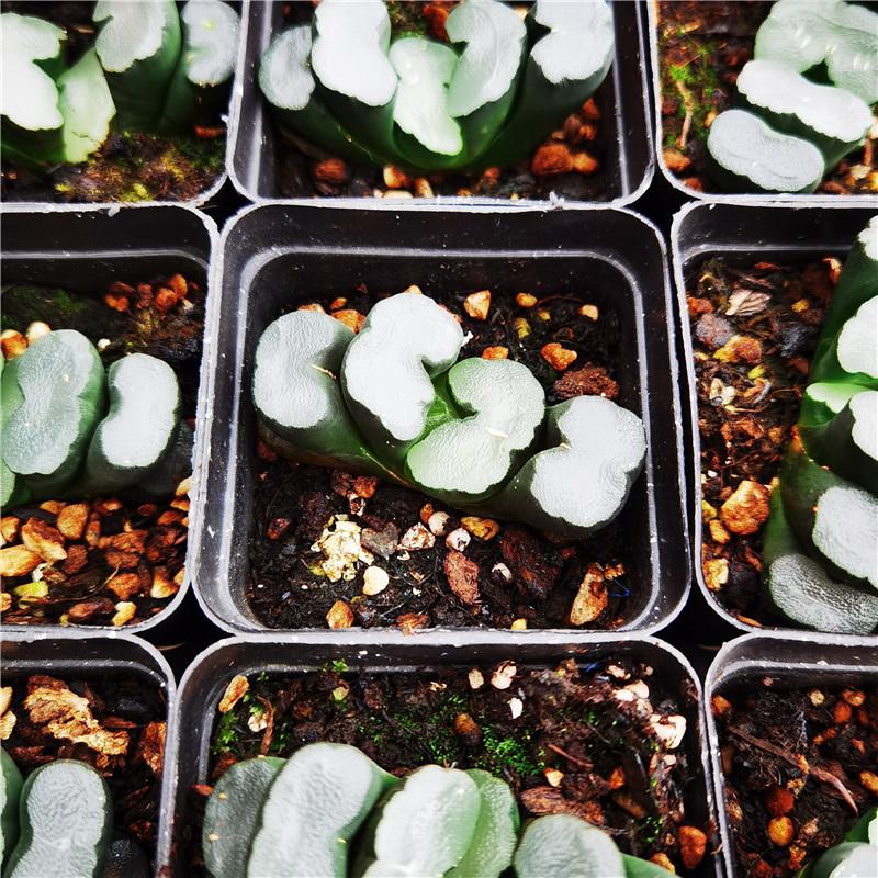 玉扇 合集 多肉植物 多肉 十二卷属 7厘米盆 满30包邮 不