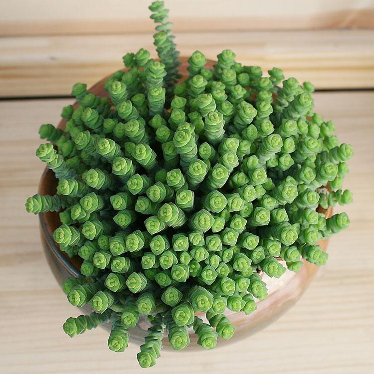 新绿盆栽钱串多肉植物钱串子多肉花卉多头群生老桩含盆带土发包邮