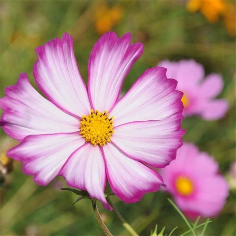 波斯菊种子 格桑花四季春播秋季可播易种撒播阳台盆栽花