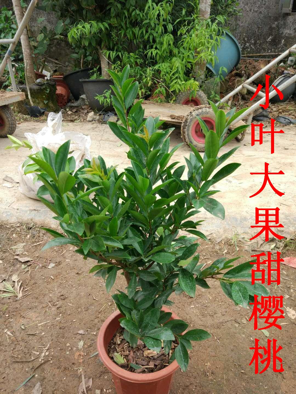 新品种巴西大果樱桃树苗小叶大果甜樱桃苗巴西车厘子带叶带土包邮