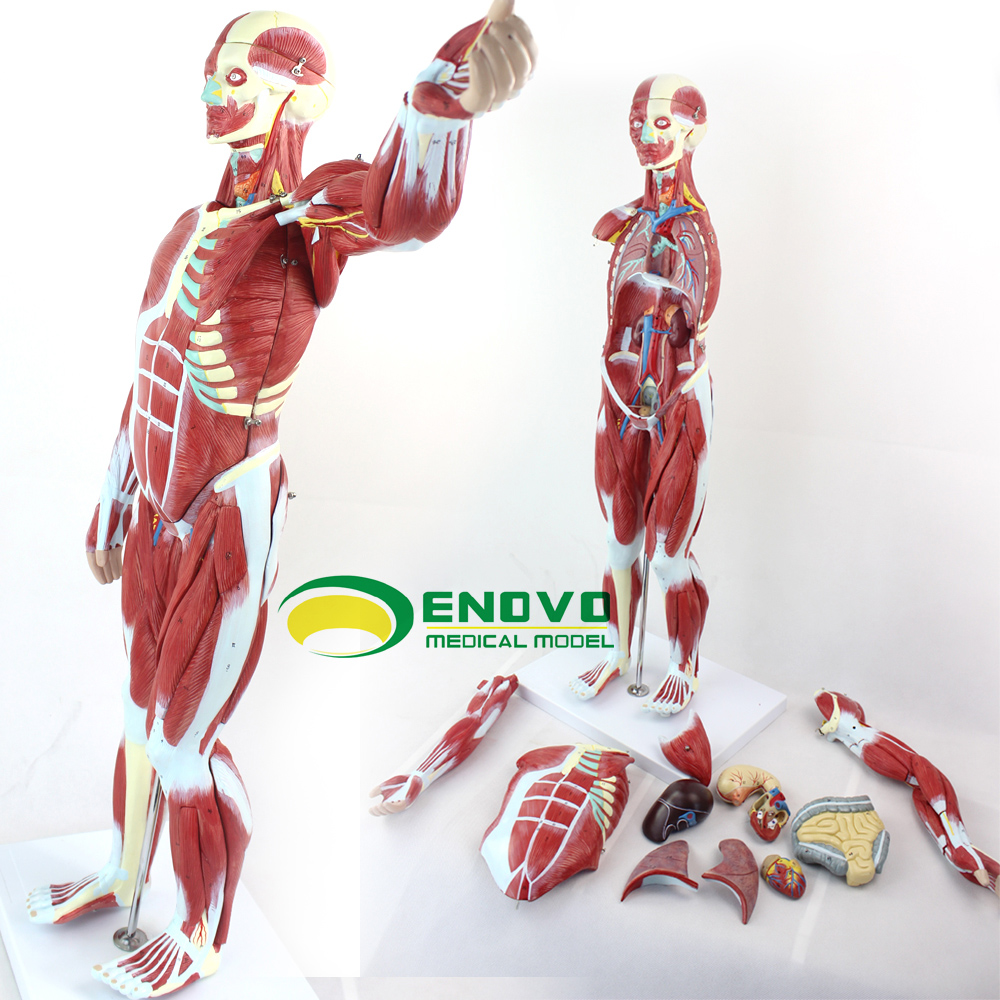 Buy 170 Cm Human Muscles Attached Visceral Model Simulation Of Human