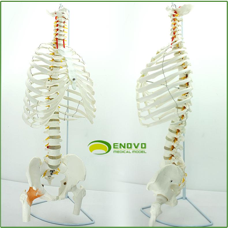 Buy Enovo Genuine Medical Model Of The Human Spine Spine Pelvis