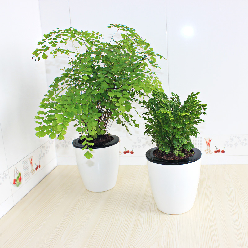 Superieur Buy Office Desktop Flowers Potted Plants Indoor Plants Hydroponic  Maidenhair Fern Selaginella Shade Small Bonsai In Cheap Price On  M.alibaba.com