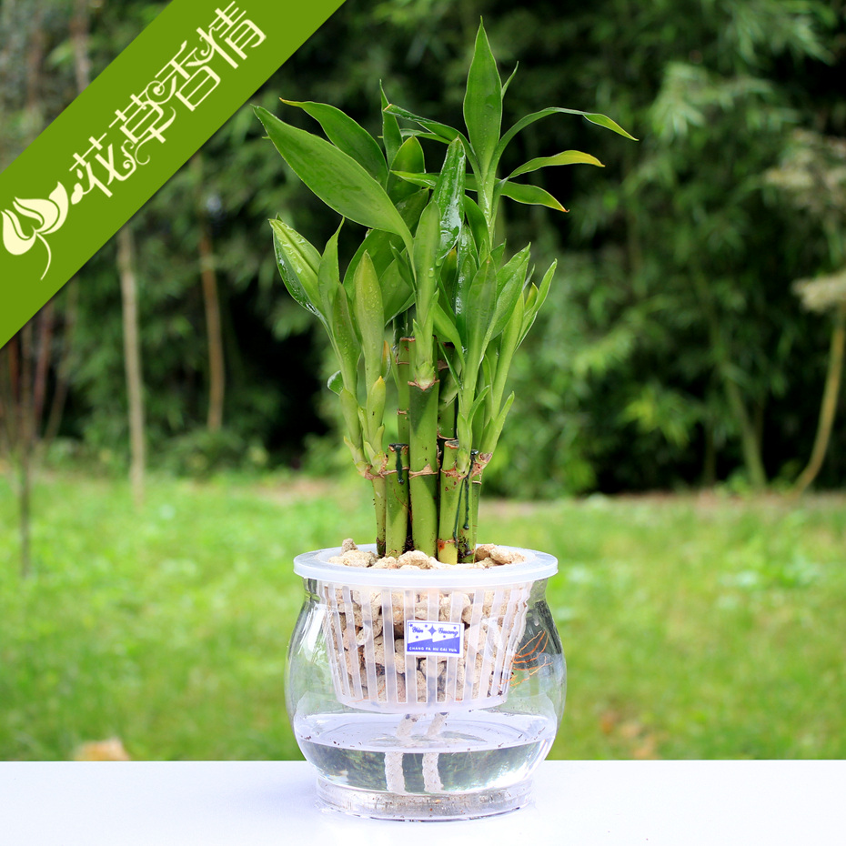 Buy Set Indoor Hydroponic Plants Lotus Lotus Bamboo Lucky Bamboo