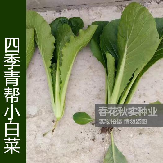 四季播速生青帮小白菜种子 好吃鲜嫩春夏秋蔬菜籽 阳台盆