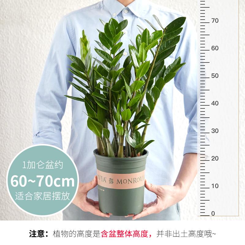 金钱树盆栽植物室内钱串子招财客厅办公室绿植花卉四季常青发财树