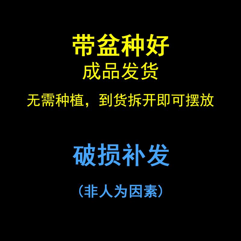 文竹盆栽植物室内净化空气四季常青日本金钱菖蒲办公室绿色盆景