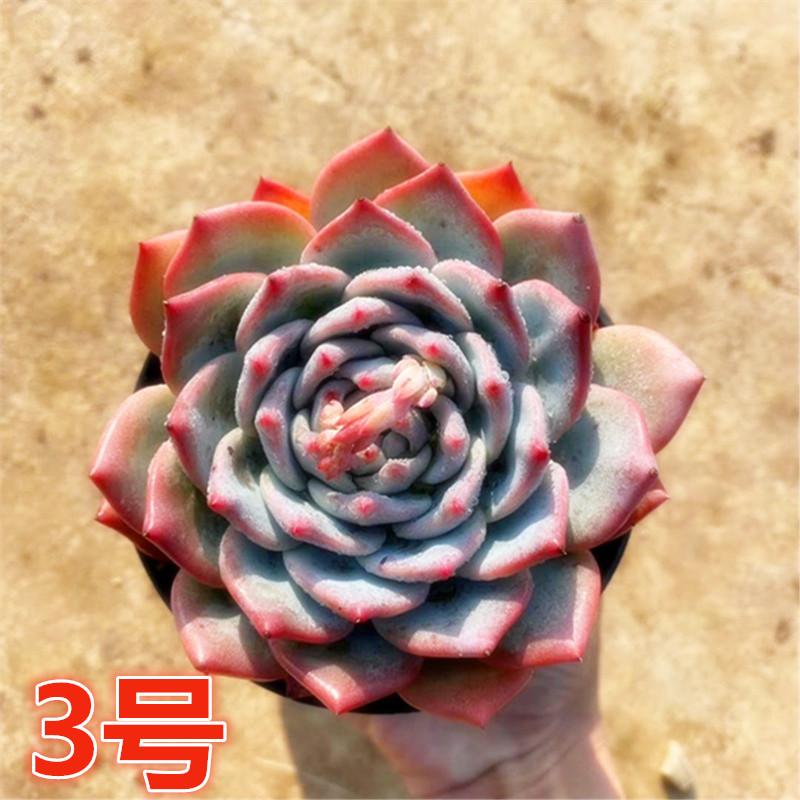【3号链接】多肉植物粉蓝鸟室内花卉阳台多肉