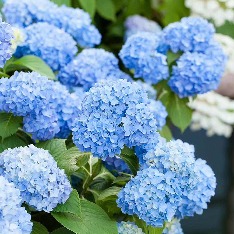 【虹越】绣球花无尽夏亲爱的大花八仙花观花盆栽植物无锡