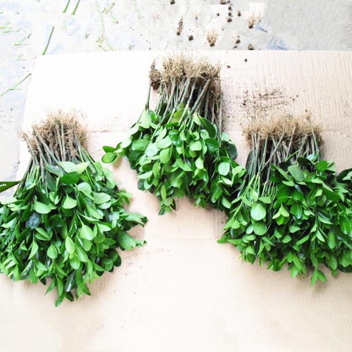 冬青苗绿化苗木四季常青庭院篱笆墙植物大叶黄杨苗北海道冬青树苗