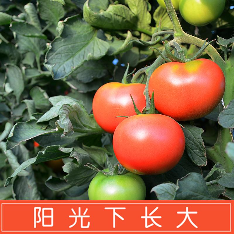 【河套西红柿】普罗旺斯西红柿新鲜自然熟5斤番茄蔬菜生吃沙瓤