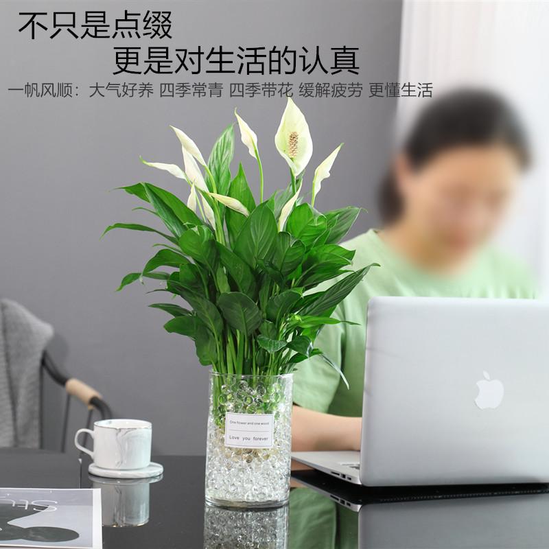 白掌盆栽一帆风顺水培植物办公室内花卉好水养的绿植红掌四季开花【图2】