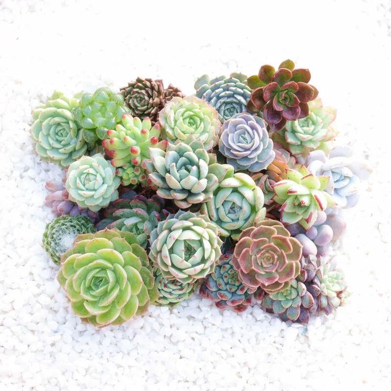 萌物志园艺直播韩系杂多肉植物空气净化拼盘组合精控小老桩