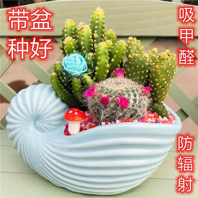 仙人掌盆栽多肉组合防辐射仙人球开花植物办公室新房室内吸甲醛