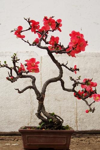 四季重瓣盆栽老桩盆景阳台绿植物室内好养活 花卉苗木 海棠花树苗