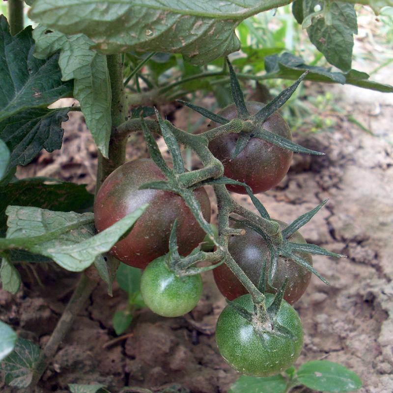 黑珍珠番茄种子巧克力紫黑番茄种苗樱桃番茄圣女果西红柿蔬菜种子