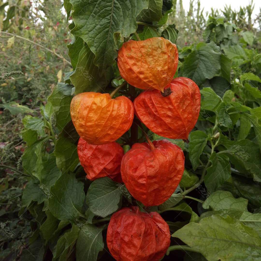 红皮山菇娘种子红菇娘水果菇娘果种籽盆栽春夏秋秋冬季红