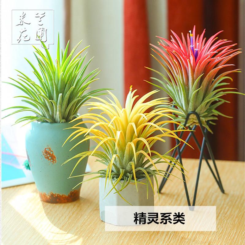 空气凤梨无土植物特价花期精灵带色包邮绿植盆栽花草礼品礼物