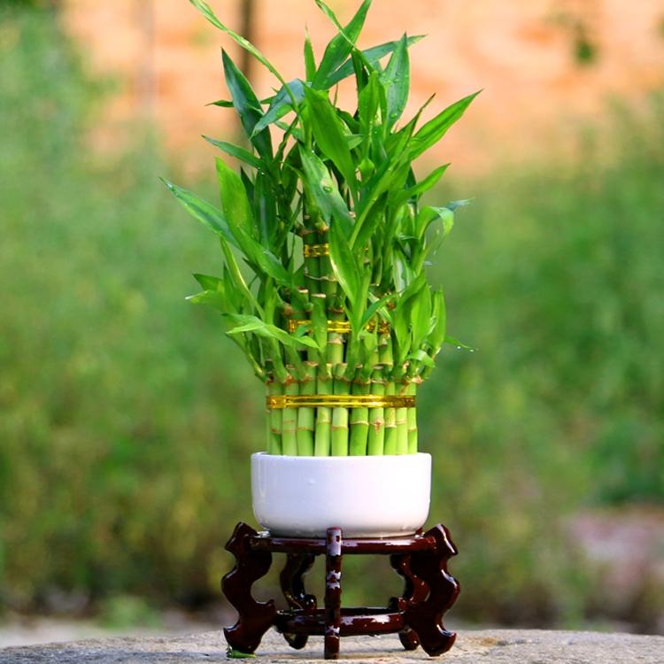 节节高竹塔富贵竹水培植物花卉水养室内办
