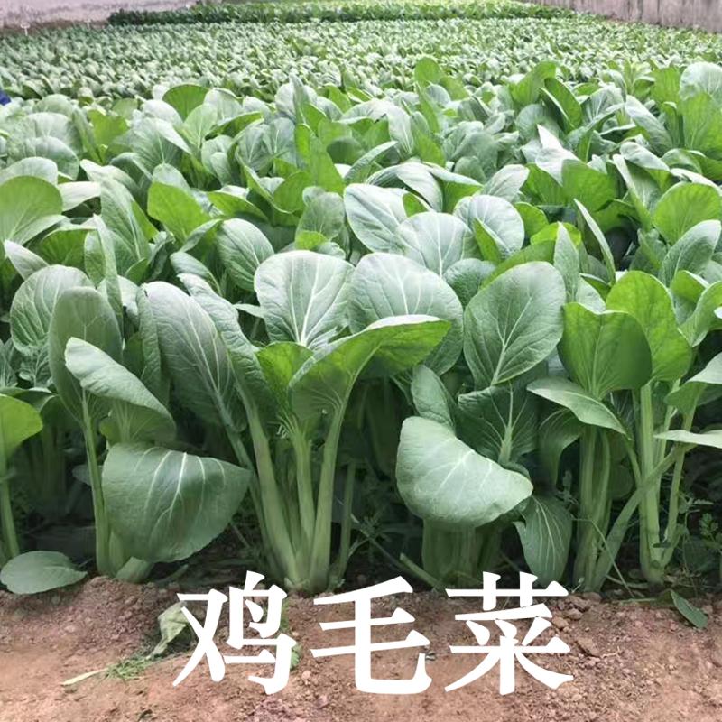 鸡毛菜种子小白菜上海青青菜种籽四季播蔬菜阳台盆栽菜园抗病包邮