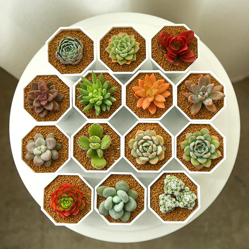 MMH多肉植物组合盆栽绿植新款特价生石花吉娃娃雪莲超萌肉肉植物