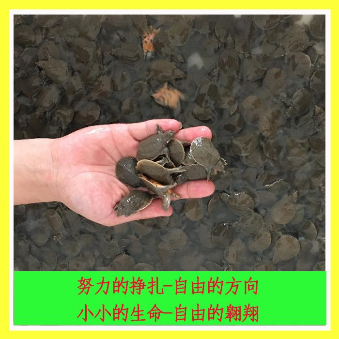 3-5克白云湖外塘小甲鱼苗活体水鱼团鱼王八中华鳖包活满80包邮