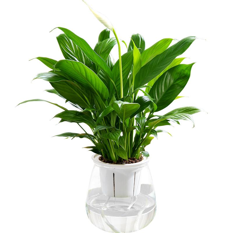 红掌盆栽水培植物盆栽花卉植物白掌室内一帆风顺水养红掌桌面好养