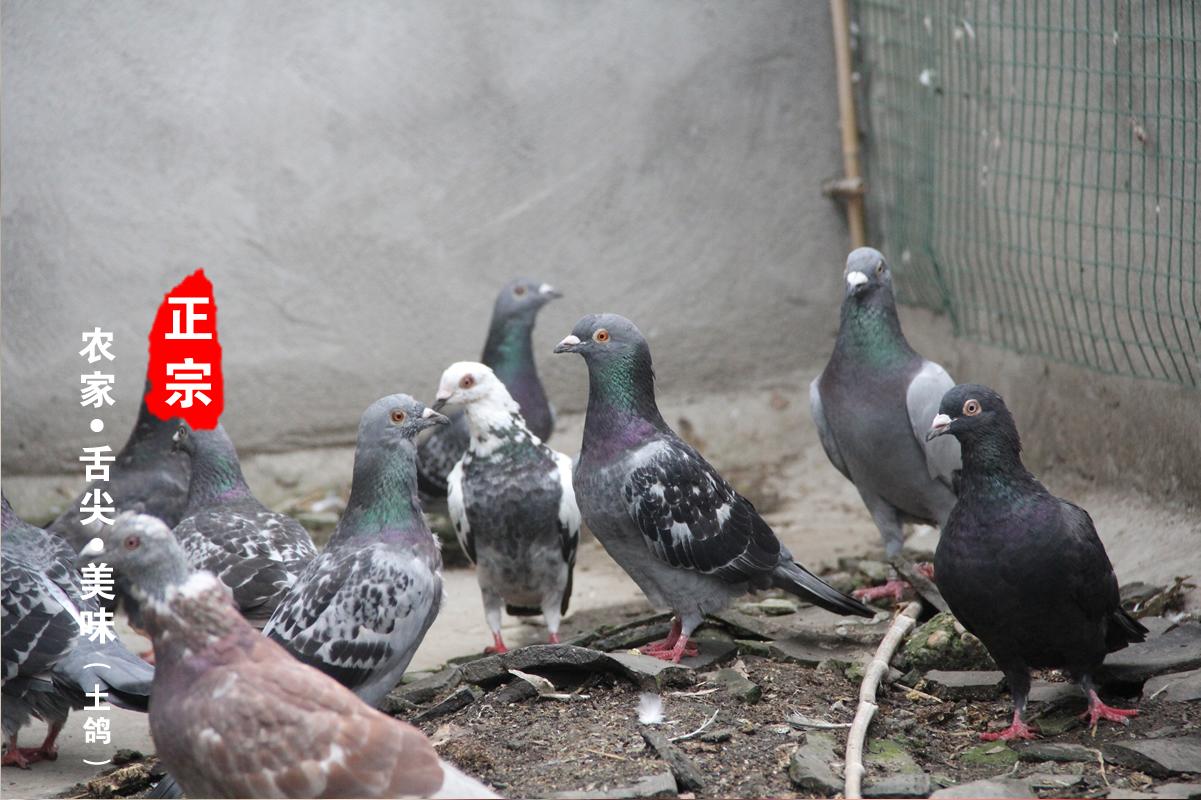新鲜乳鸽 正宗农家散养鸽子现杀原生态地道土鸽子 营养滋补鸽子肉