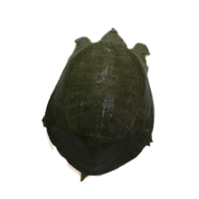 大甲鱼活体包邮中华海鲜活老土鳖团脚水鱼苗王八滋补品青黑