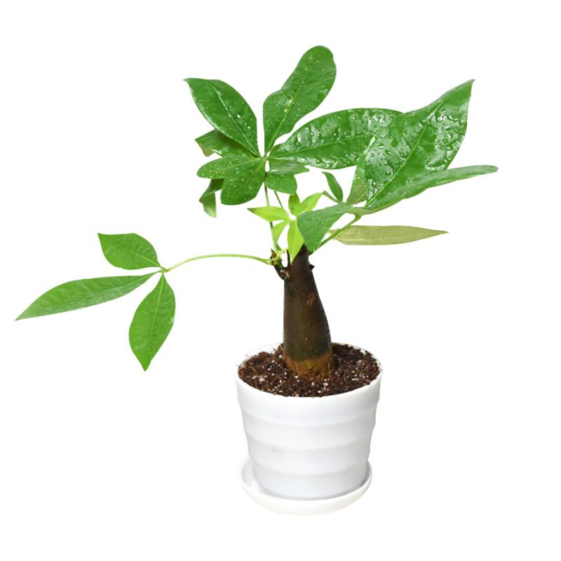 发财树室内绿植办公盆栽富贵竹金边吊兰文竹君子兰竹柏榕树九里香