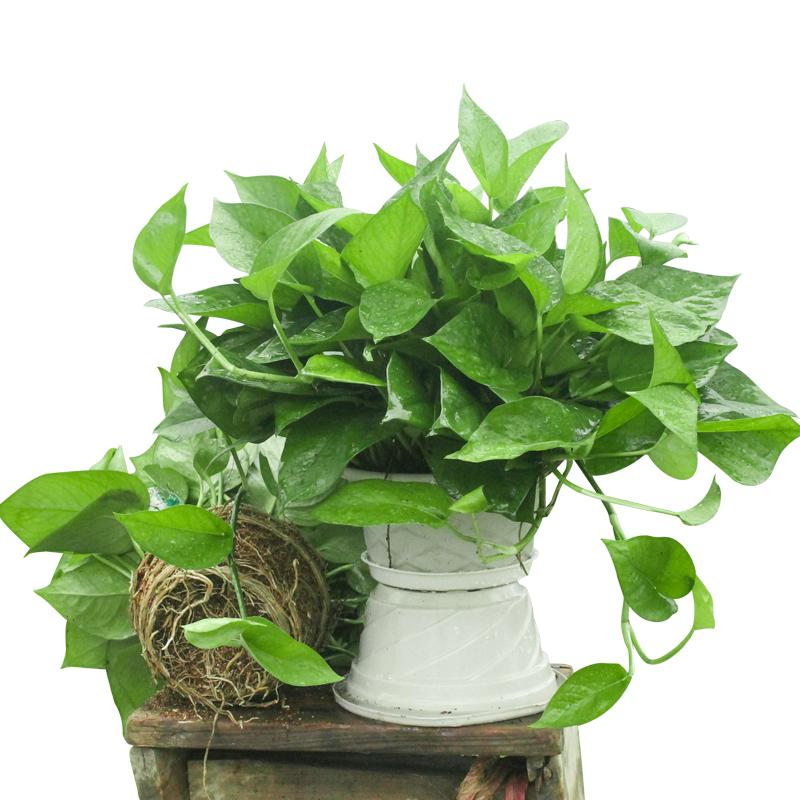 绿萝盆栽绿箩批发吊兰大叶长藤好养室内花卉吸除甲醛净化空气植物