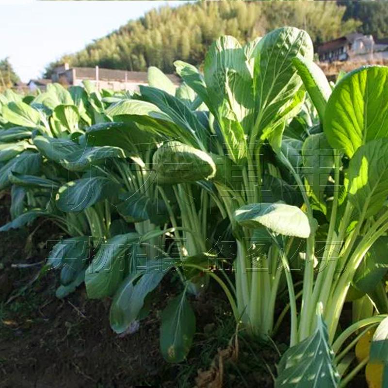 小白菜种子长梗高杆青菜籽油菜种籽南方种四季阳台盆栽菜