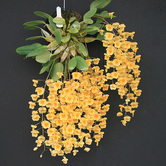 Fuxing Gaozhao Dendrobium Home Green Planting Horting Tape Root Potted Terminal Dendrobium Seedlings Floral Green Plants