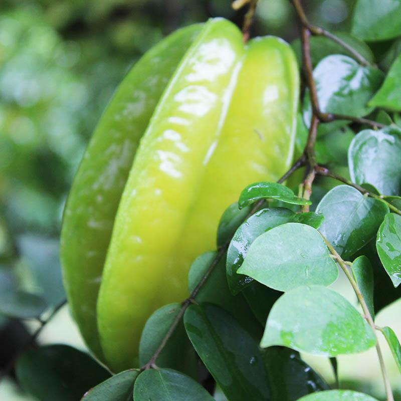 夏多新鲜甜杨桃5斤包邮当季热带水果9到13个农家现摘热带孕妇水果