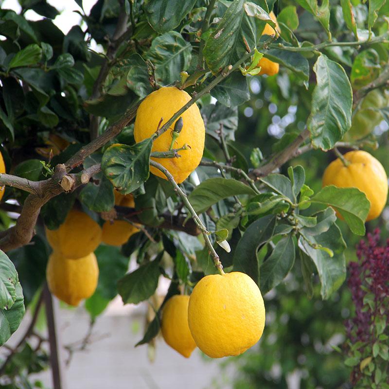现摘[拍2件发5斤]四川安岳黄柠檬新鲜水果当季批发包邮非青柠檬茶