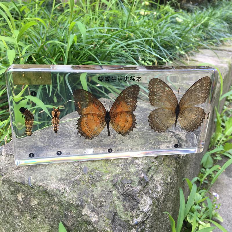 真实小动物昆虫生长发育标本蝌蚪青蛙蜜蜂蝴蝶螳螂益虫害虫蛇蜻蜓
