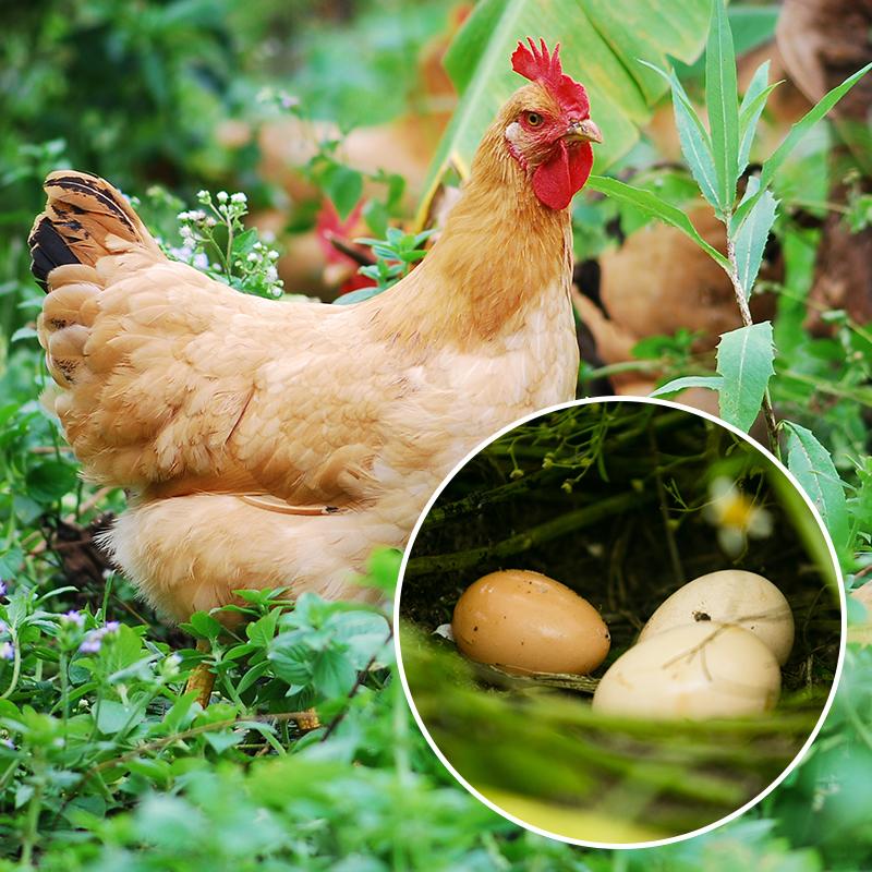 正宗放养土鸡蛋农家散养新鲜初生蛋草鸡蛋初产柴鸡蛋笨鸡蛋40枚