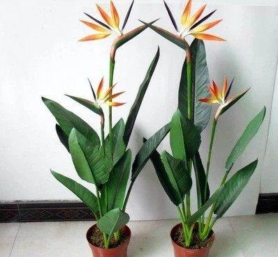 Indoor Potted Flowers Red Plantlet Bird Of Paradise Strelitzia Home Plants Hydroponic Soil Culture In Price On