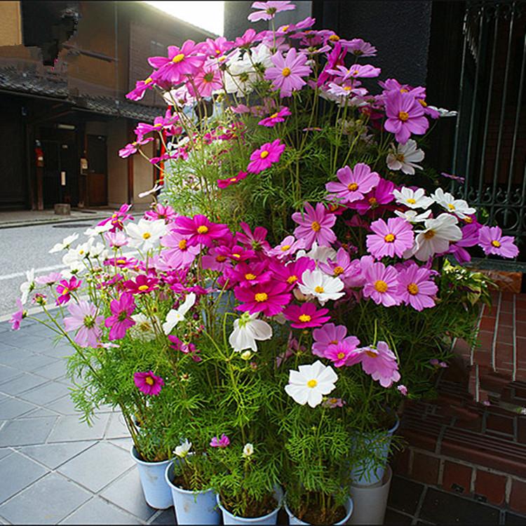 buy seasons sowing planting flowers cosmos vanilla flowers balcony
