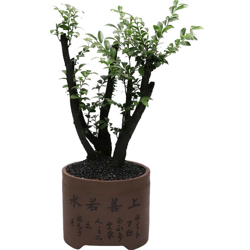小叶紫檀盆景植物盆栽室内绿植花卉六月雪树桩榆树盆景四季常青